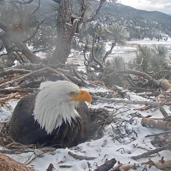 (Friends ofBigBear/ Big Bear Bald Eagle Cam)