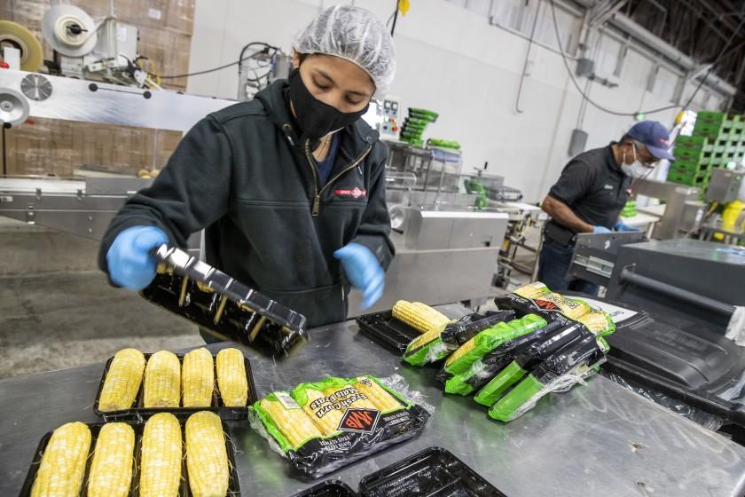 Agriculture workers process sweet corn on a packaging line in Lodi sometime in 2021. (Brian van der Brug / Los Angeles Times)