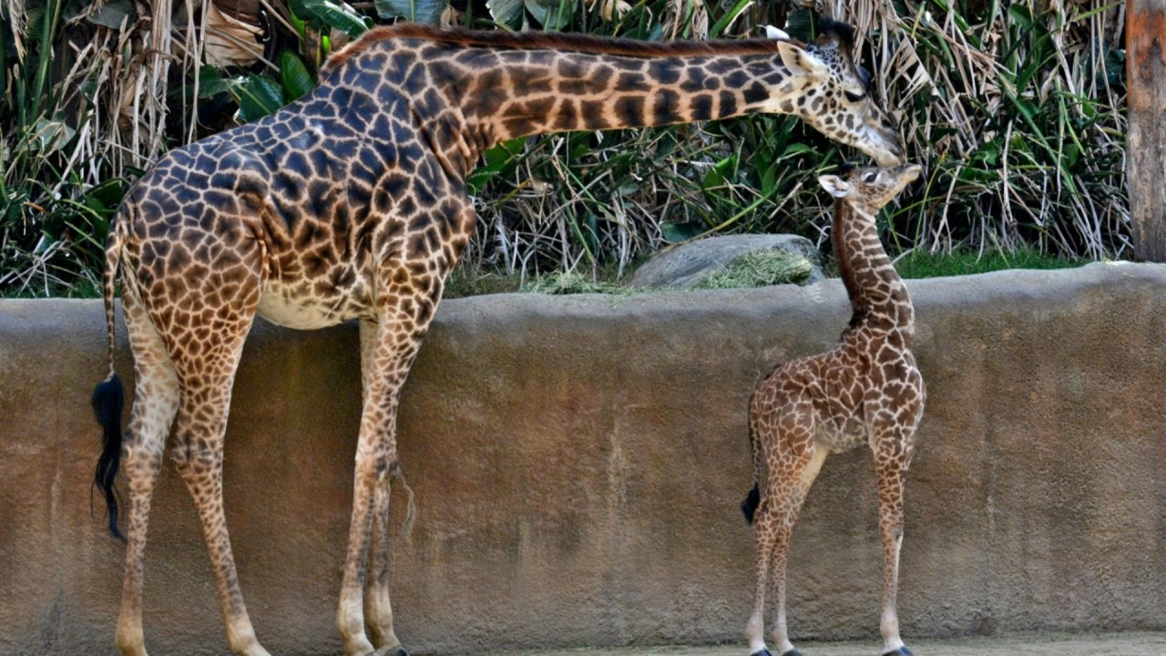 L.A. Zoo giraffe dies after giving birth to stillborn calf