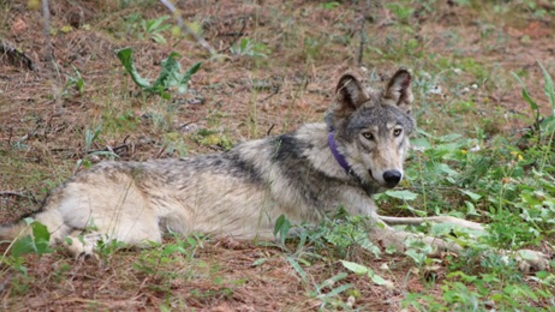The gray wolf known as OR-93 is seen in a photo distributed by the California Department of Fish and Wildlife.