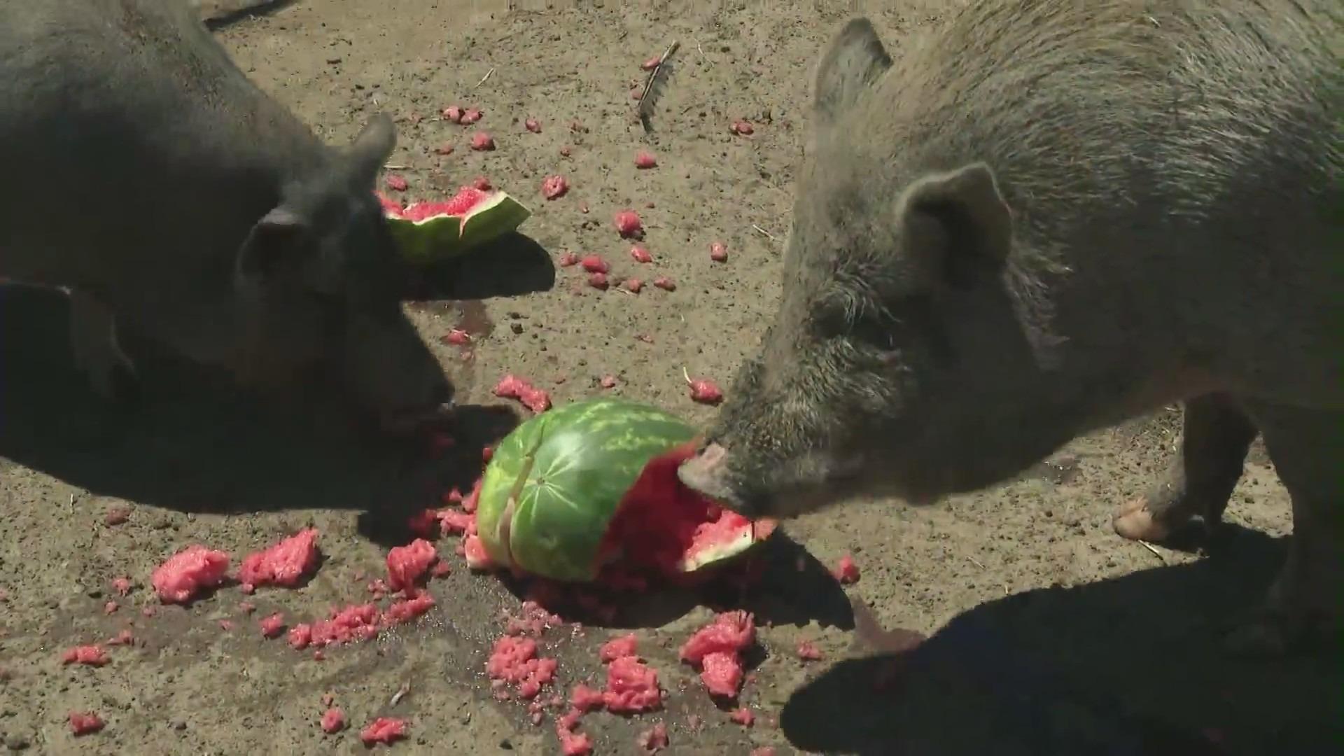 Pigs at Buster's Barn. (KTLA)