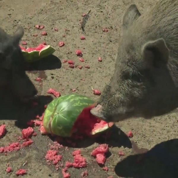 Pigs at Buster's Barn. (KTLA)