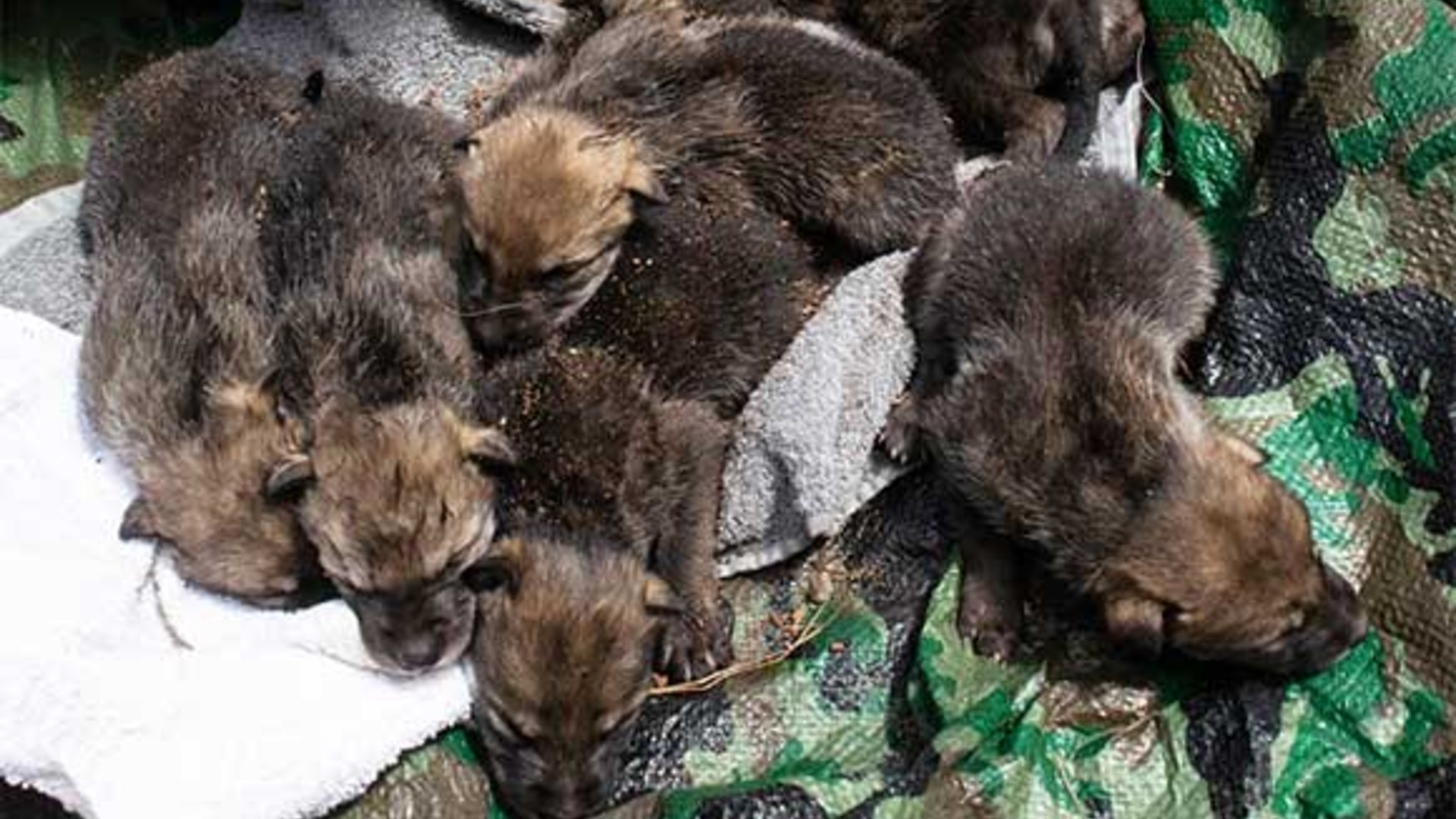 This photo released by U.S. Fish and Wildlife shows captive-born pups mixed together with wild-born pups before being placed into a wild den in Arizona.( Interagency Field Team)