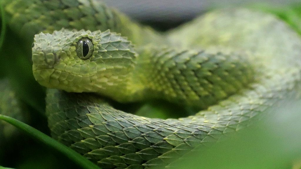 An African Bush Viper venomous snake is displayed for reporters at the Woodland Park Zoo Friday, Dec. 14, 2018, in Seattle. (AP Photo/Ted S. Warren)