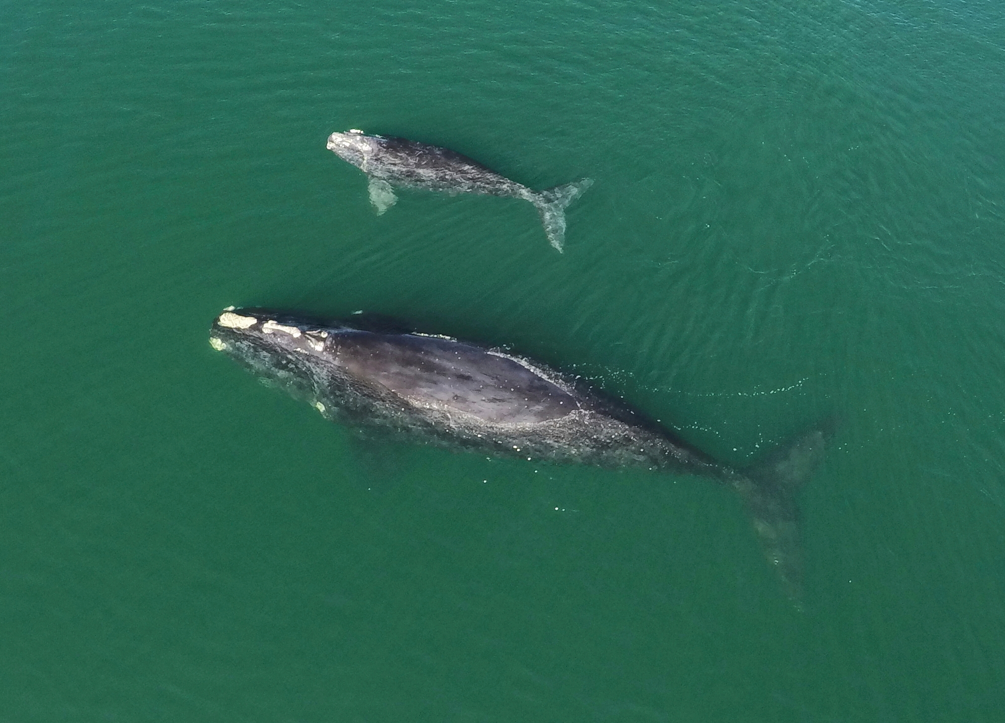 This Jan. 19, 2021 photo provided by the Georgia Department of Natural Resources shows a North Atlantic right whale mother and calf in waters near Wassaw Island, Ga. Scientists recorded 17 newborn right whale calves during the critically endangered species' winter calving season off the Atlantic coast of the southeastern U.S. (Georgia Department of Natural Resources/NOAA Permit #20556 via AP)