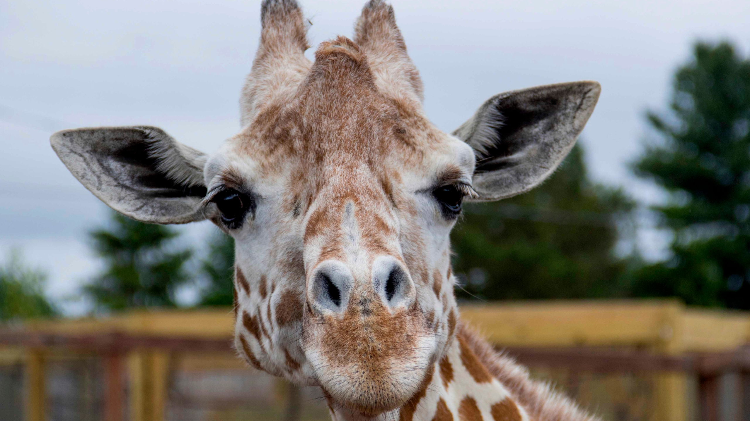This undated photo, provided by Animal Adventure Park on Sunday, June 3, 2018, shows a giraffe named April at Animal Adventure Park in Harpursville, N.Y. (Animal Adventure Park via AP)