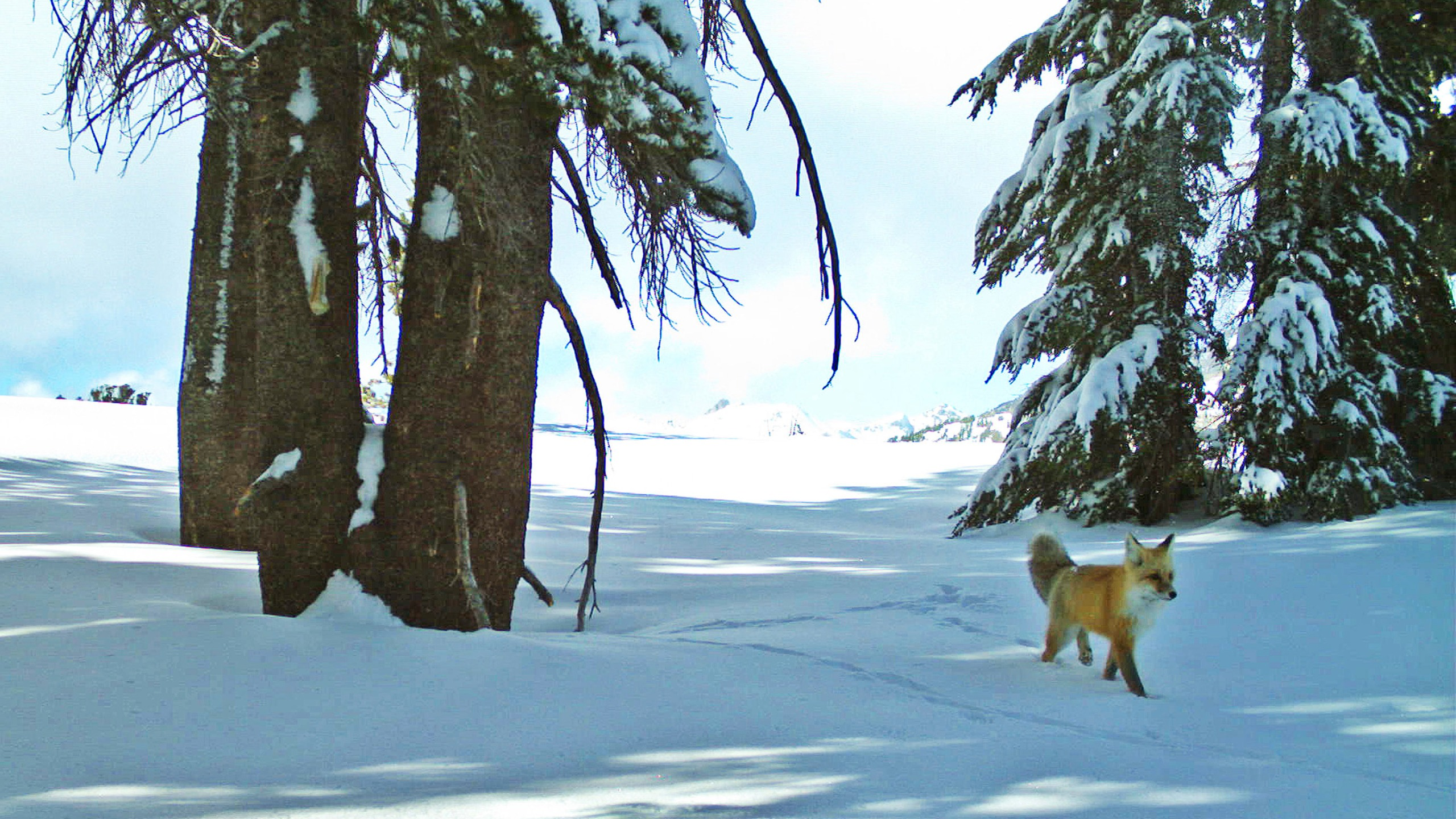FILE - In this Dec. 13, 2014 file photo provided by the National Park Service from a remote motion-sensitive camera, a Sierra Nevada red fox walks in Yosemite National Park. An environmental group filed a lawsuit Thursday, April 15, 2021, alleging the federal government has failed to act on petitions to protect nine different species under the Endangered Species Act and failed to designate critical habitat for 11 others. The complaint covers species from Oregon to Delaware and asks the U.S. Fish and Wildlife Service to make decisions on the species after years of delays. (National Park Service via AP, File)