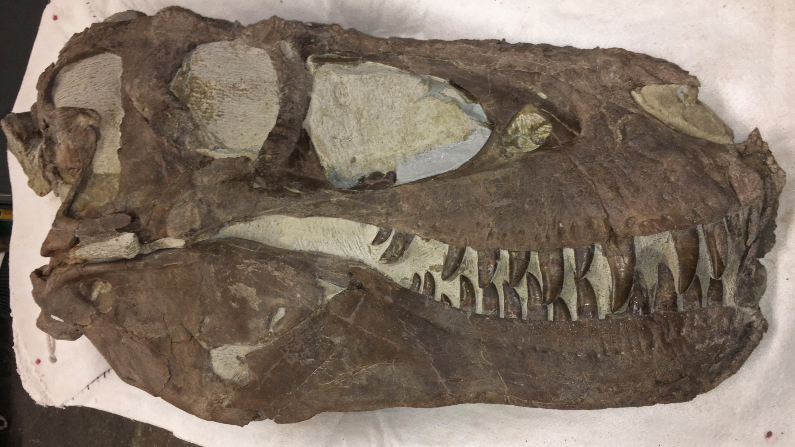 """This photo provided by the Bureau of Land Management shows a """"Hollywood"""" dinosaur specimen that was discovered approximately two miles north of the Rainbows and Unicorns Quarry on Grand Staircase-Escalante National Monument in Utah on Feb. 26, 2019. Ferocious tyrannosaur dinosaurs may not have been solitary predators as long envisioned, but more like social carnivores such as wolves, new research unveiled Monday, April 19, 2021, found. (Dr. Alan Titus/Bureau of Land Management via AP)"""
