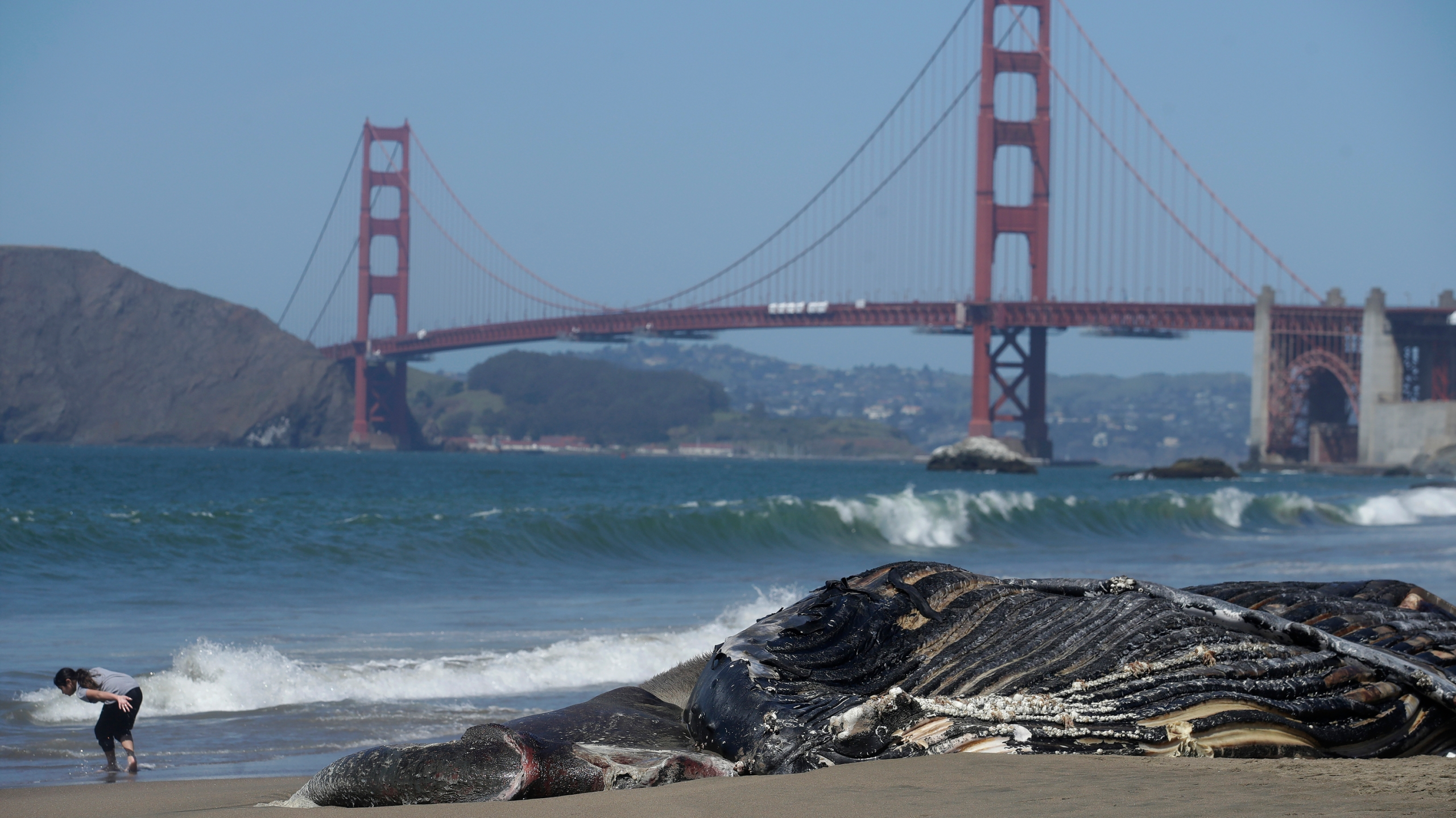 In this Tuesday, April 21, 2020, file photo, a dead humpback whale is shown in front of the Golden Gate Bridge at Baker Beach in San Francisco. (AP Photo/Jeff Chiu, File)
