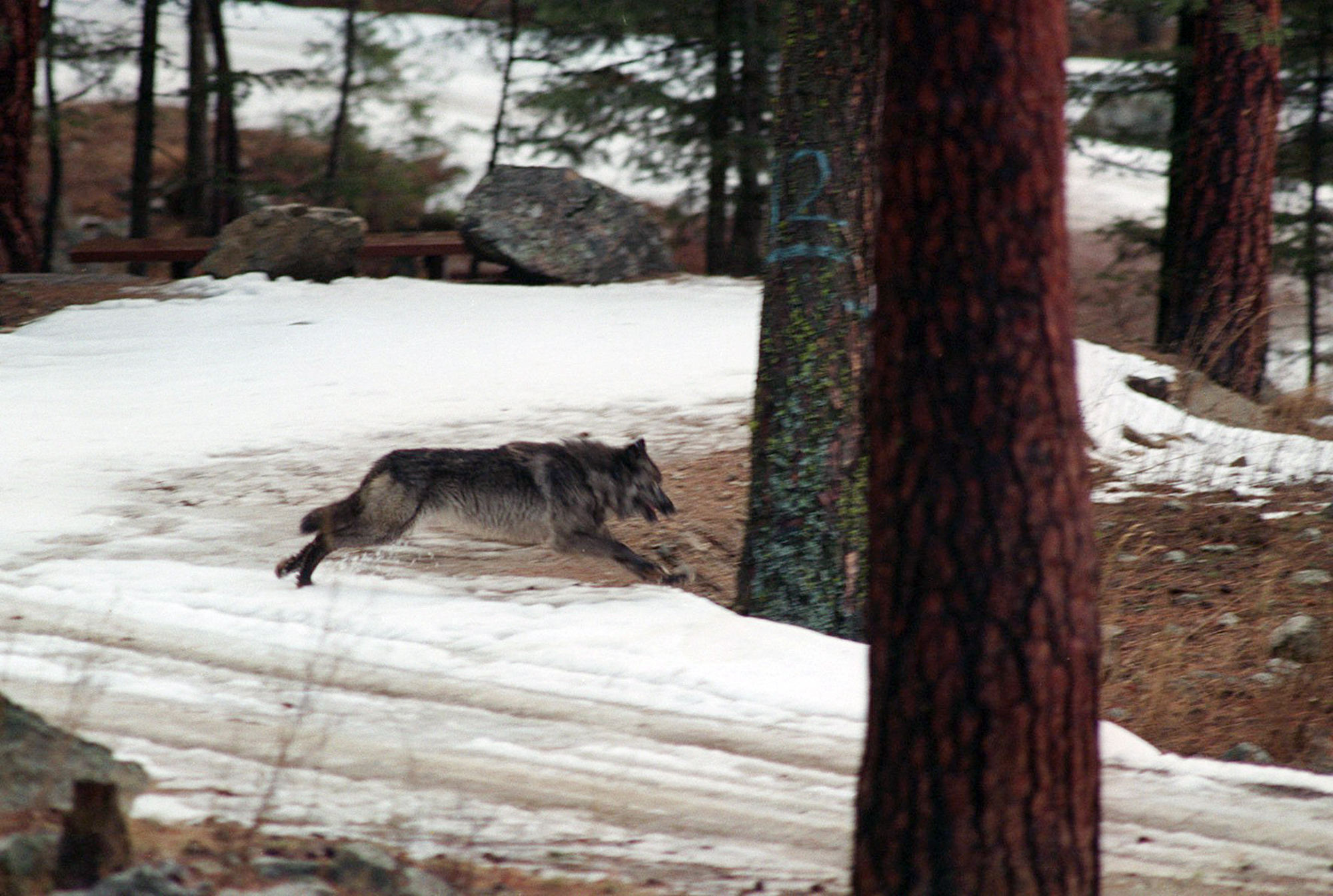 In this Jan. 14, 1995, file photo, a wolf leaps across a road into the wilds of central Idaho. On Tuesday, April 27, 2021, the Idaho House approved legislation allowing the state to hire private contractors and expand methods to kill wolves roaming Idaho, a measure that could cut the wolf population by 90%. (AP Photo/Douglas Pizac, File)