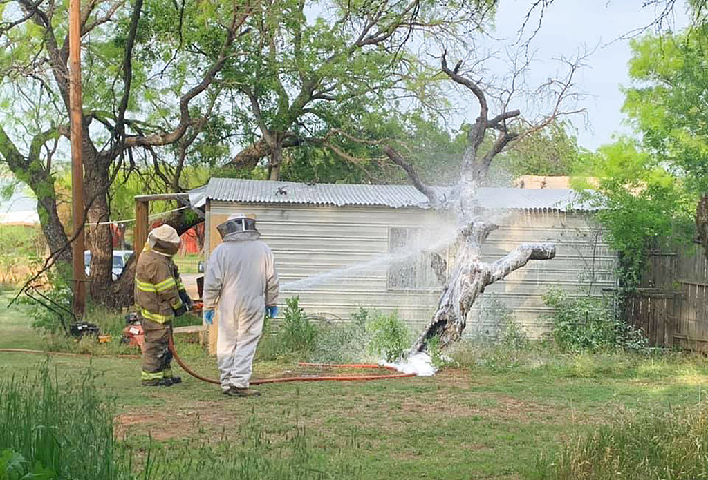 This April 26, 2021, photo provided by the Breckenridge Fire Department in Breckenridge, Texas, shows BFD firefighter, Chad Skiles and beekeeper Joey Venekamp use foam to destroy a bee hive filled with an aggressive swarm of bees outside the home of Thomas Hicks, in Breckridge, Texas. (Calvin Chaney/Breckenridge Fire Department via AP)