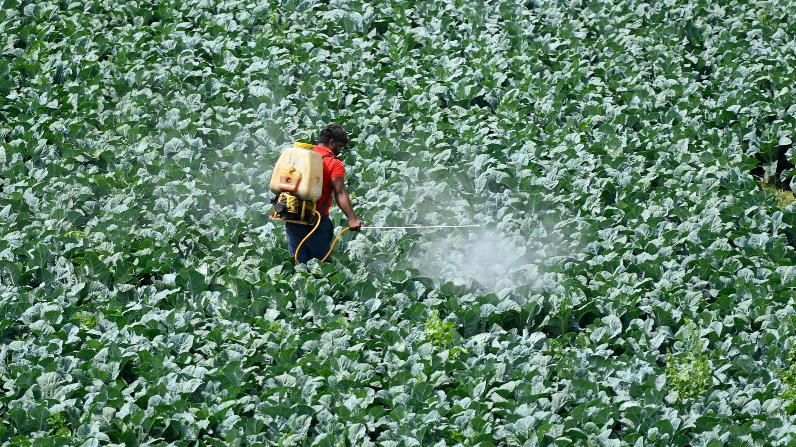 A farmer sprays pesticide on the crop in a field in New Delhi on March 15, 2021. (MONEY SHARMA/AFP via Getty Images)