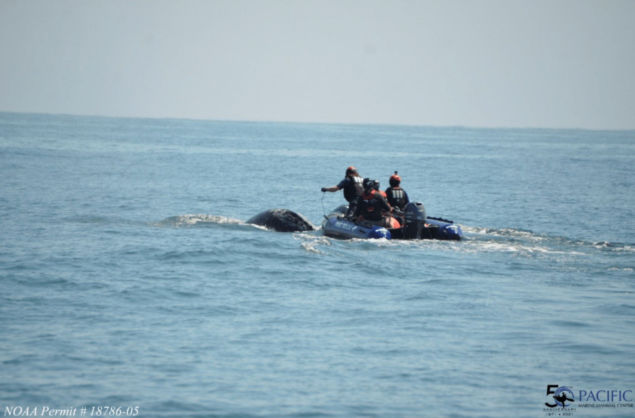 A crew works to free an entangled whale calf off the coast of Orange county in this undated image provided by the Pacific Marine Mammal Center.