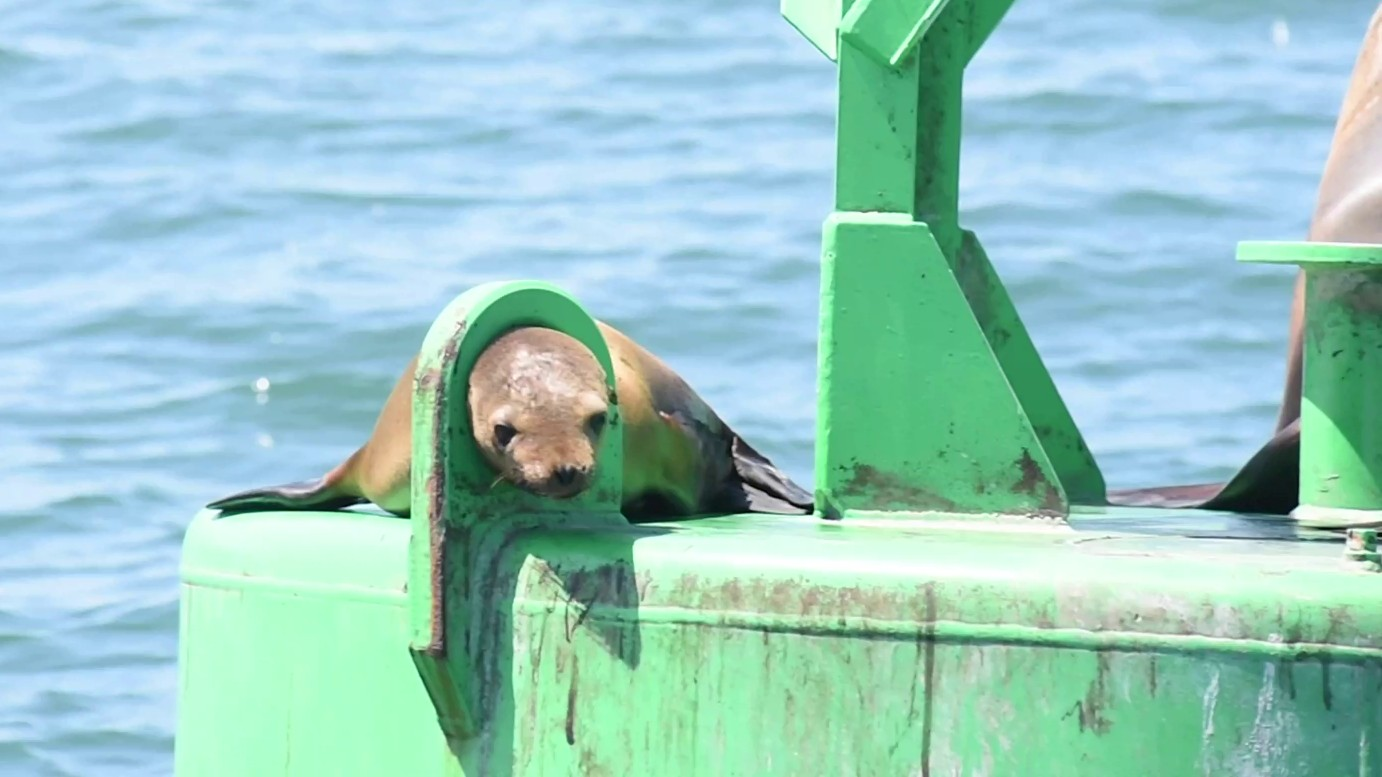A sea lion with its head stuck in a metal loop off the coast of Point Loma. ( SeaWorld San Diego)