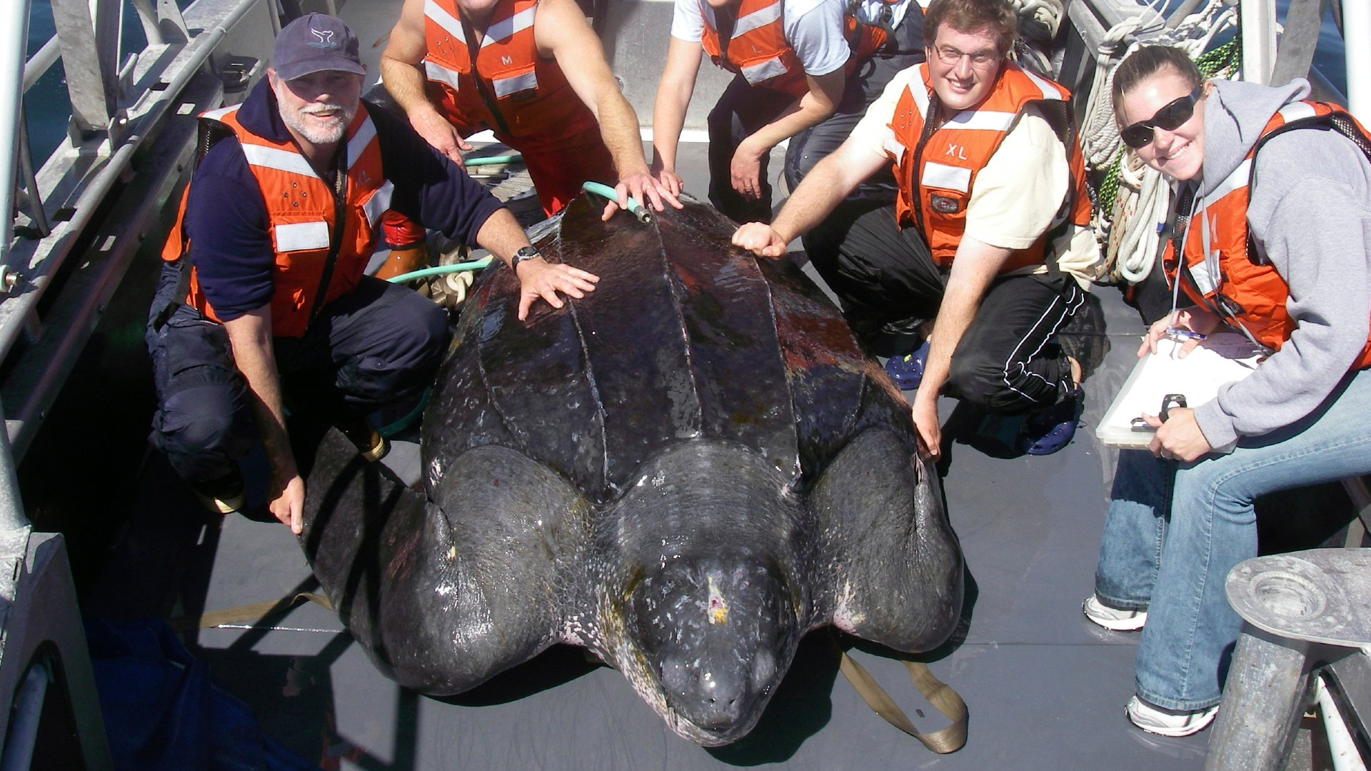 In this photo provided by Heather Harris, taken Sept. 25, 2007, in the waters off central California, scientists including Scott Benson, at far left, can be seen posing with a giant western Pacific leatherback sea turtle as they take measurements and attach a GOP satellite tracking device to its shell. (Heather Harris/NOAA-ESA Permit #15634 via AP)