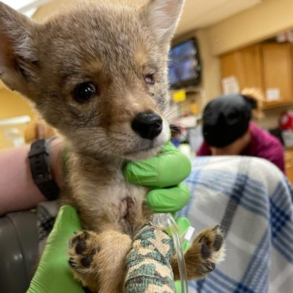 Hikers in Palm Springs found an injured coyote pup in early May 2021, and a local wildlife preserve is caring for the orphaned animal, named Twenty Twenty. (Magic Jungle Wildlife Preserve)