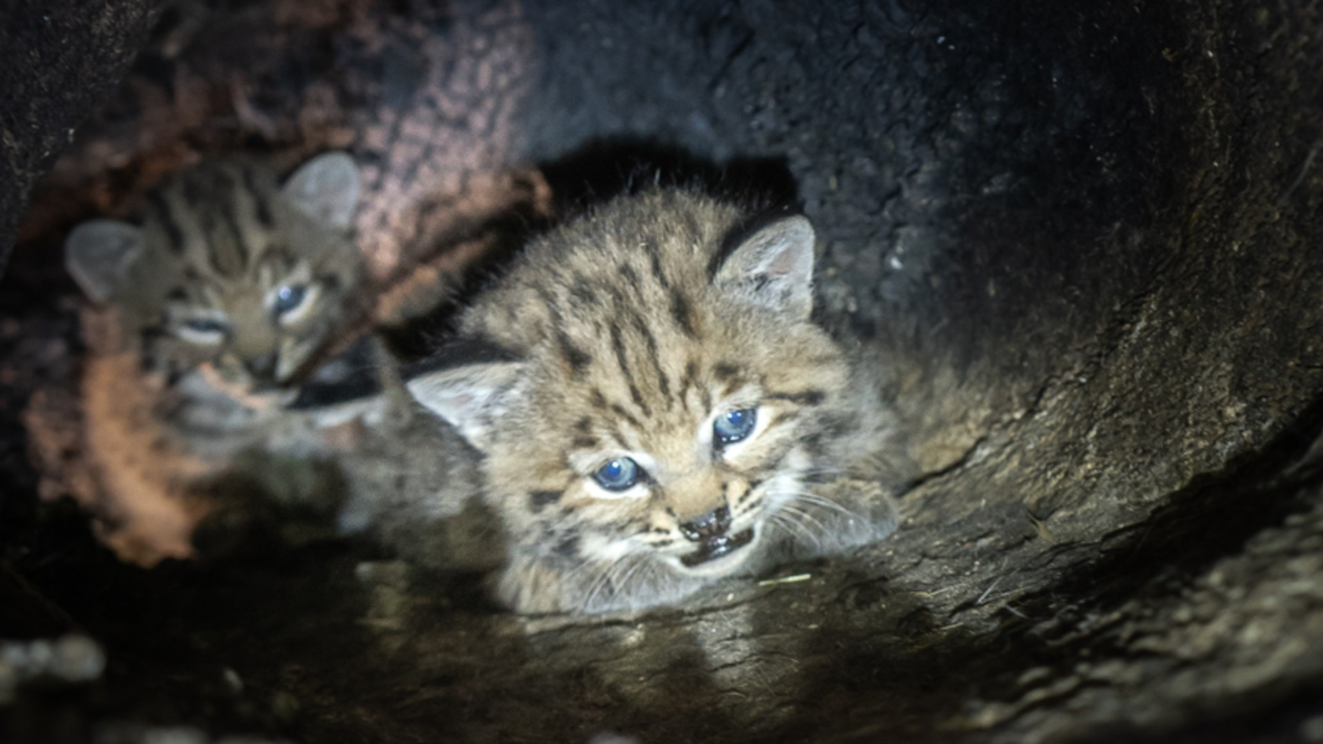 Using the mom's (B-370) GPS collar, the National Park Service biologists located a female bobcat in a cavity of a large oak tree on April 15, 2021. She was in an area that was intensely burned during the Woolsey Fire that swept through Calabasas and other areas in the Santa Monica Mountains in November 2018.