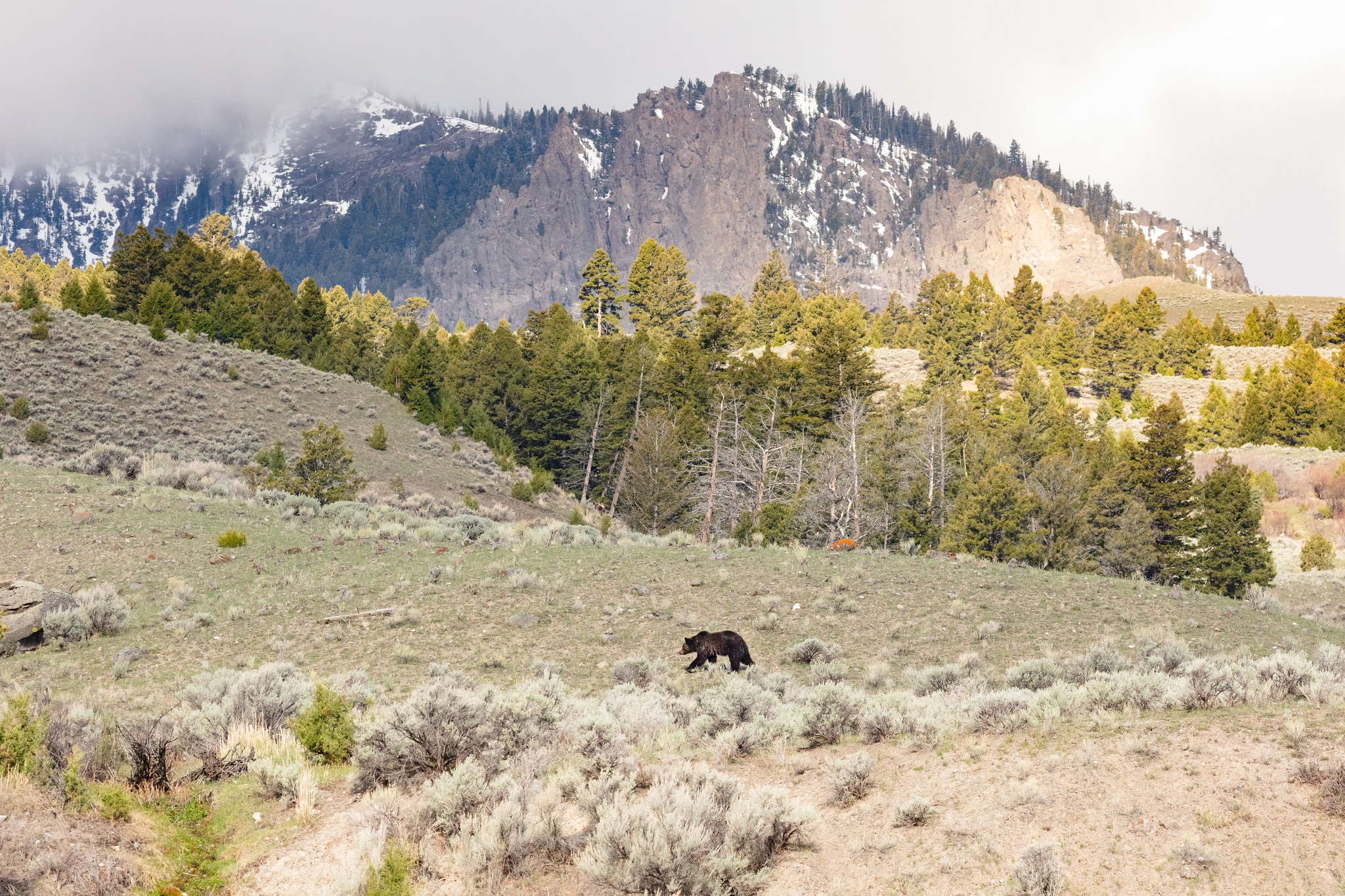 A grizzly bear walks above the Gardner River near the Boiling River parking area in Yellowstone National Park in an undated photo released by the National Park Service.