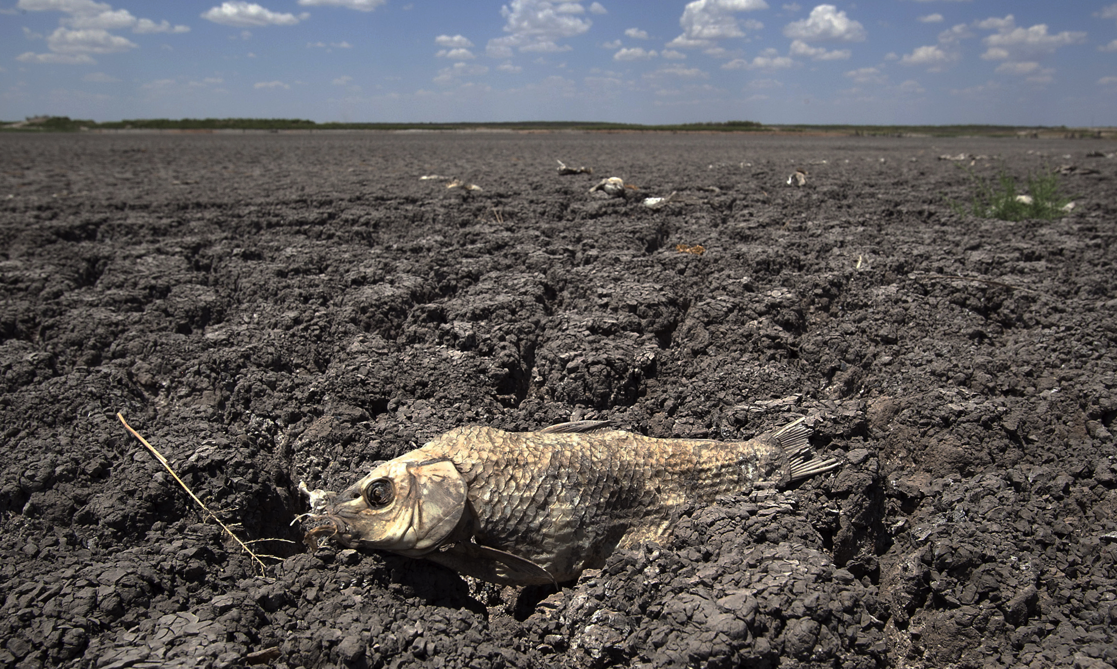 In this Wednesday, Aug. 3, 2011 file photo, the remains of a carp are seen on the dry lake bed of O.C. Fisher Lake in San Angelo, Texas. According to data released by the National Oceanic and Atmospheric Administration on Tuesday, May 4, 2021, the new United States normal is not just hotter, but wetter in the eastern and central parts of the nation and considerably drier in the West than just a decade earlier. (AP Photo/Tony Gutierrez)