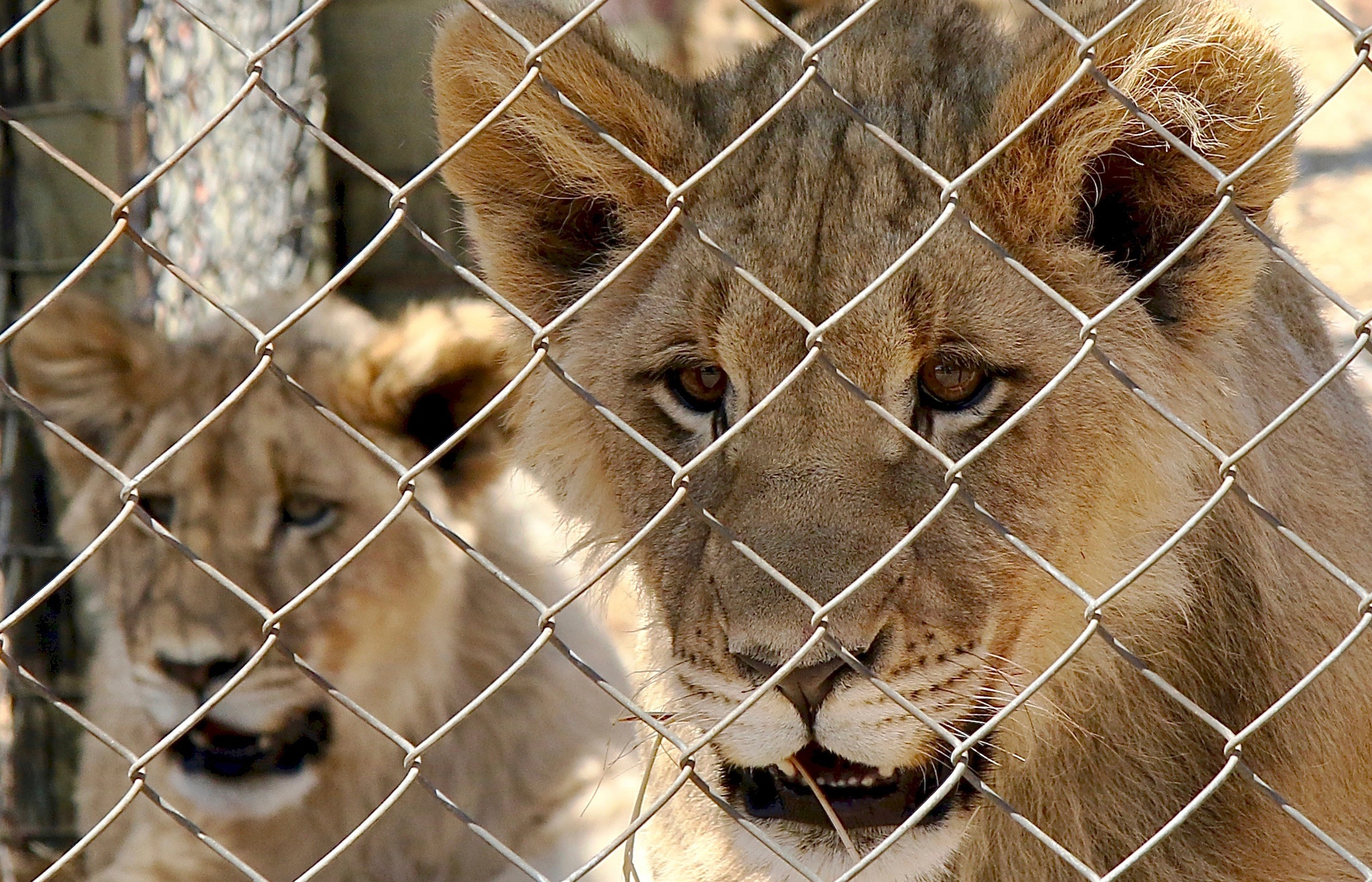 South Africa says it will end its captive lion industry
