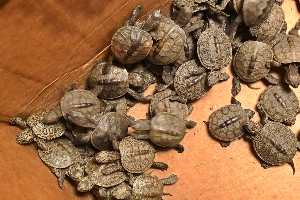 This photo, provided by Stockton University, shows some of the hundreds of diamondback terrapin hatchlings rescued from storm drains by volunteers in Ocean City, NJ. (Lester Block/Stockton University via AP)
