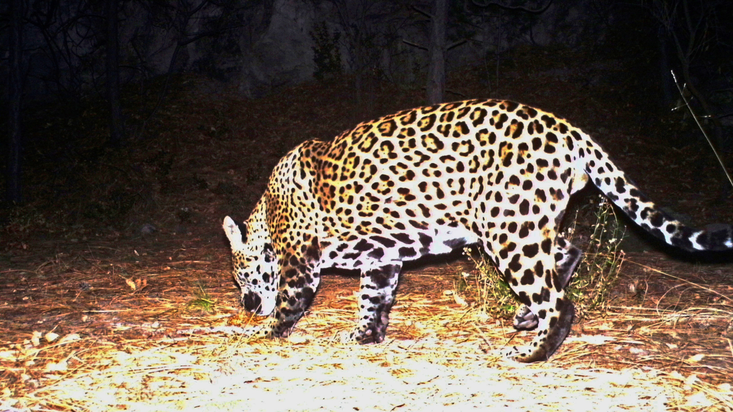 This Dec. 1, 2016 file image from video provided by Fort Huachuca shows a wild jaguar in southern Arizona. (Fort Huachuca via AP, File)This Dec. 1, 2016 file image from video provided by Fort Huachuca shows a wild jaguar in southern Arizona. (Fort Huachuca via AP, File)