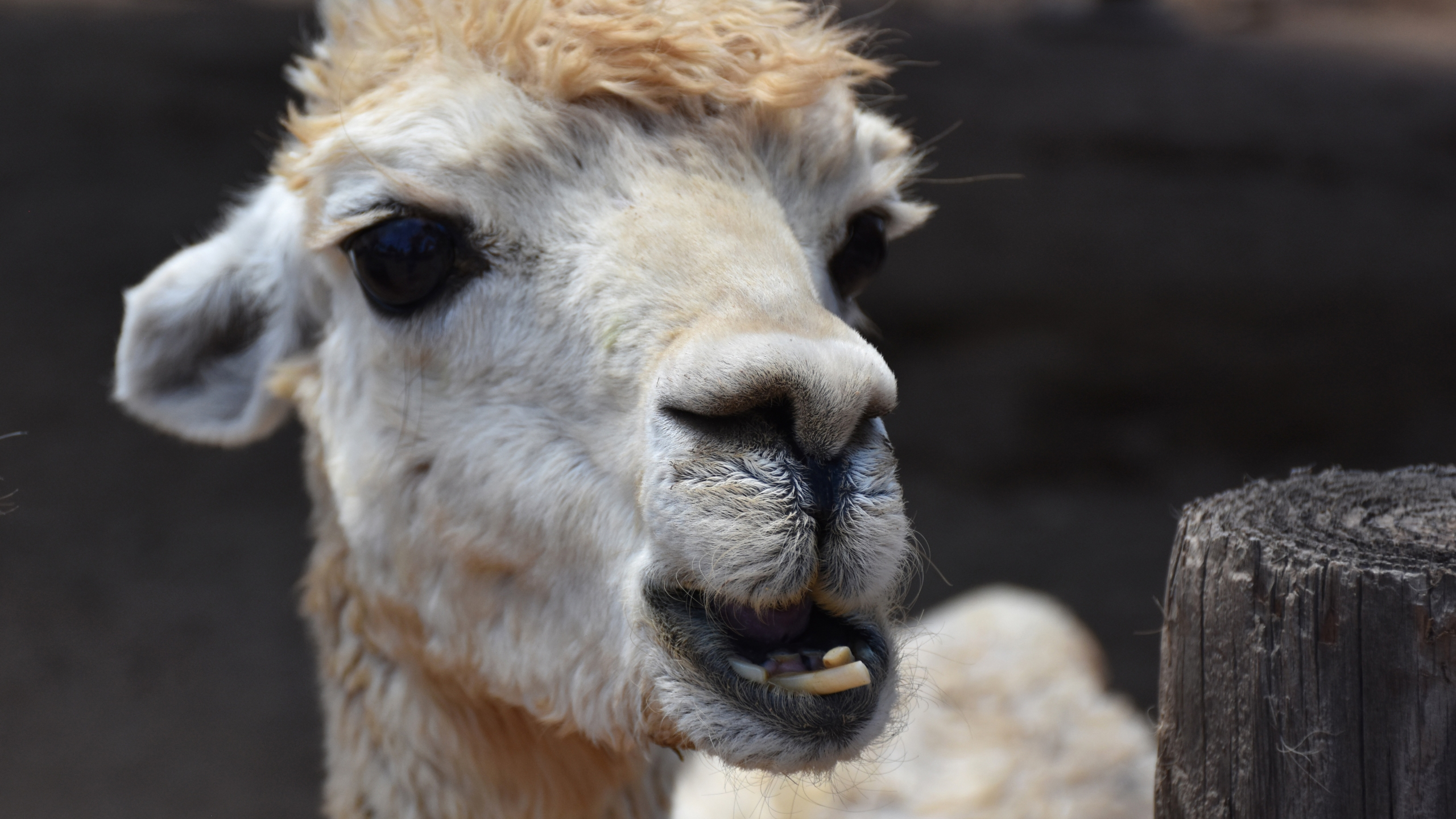 An alpaca is seen in a file photo. (iStock/Getty Images Plus)
