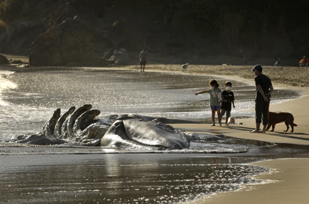 Visitors to Muir Beach look at a decomposing gray whale on April 17.(Carolyn Cole / Los Angeles Times)