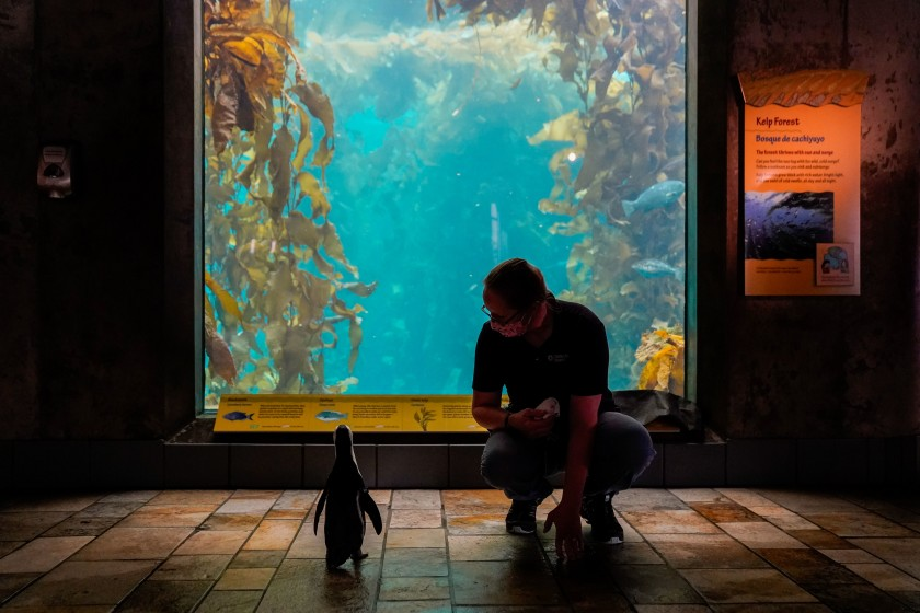 A penguin at the Monterey Bay Aquarium named Rey looks at the kelp forest tank with senior aviculturist Kim Fukuda on Aug. 20, 2020. (Kent Nishimura / Los Angeles Times)