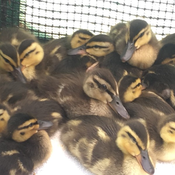 This photo showing some of the ducklings was provided to KTLA by the Wetlands and Wildlife Care Agency on May 3, 2021.