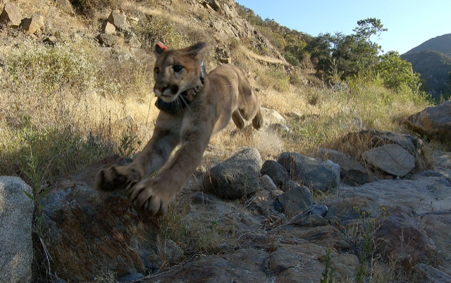 A mountain lion who spent four months in rehabilitation was released back into the wild on June 21, 2021, in Rancho Santa Margarita. (San Diego Humane Society)