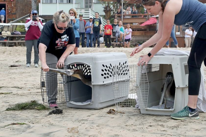 Debbie McGuire, left, Wetlands and Wildlife Care Center executive director, and Kelly Kveton, a board member, encourage two rehabbed pelicans to leave their kennels as they are released at Crystal Cove State Beach in Newport Beach on June 22, 2021.(Kevin Chang / L.A. Times Community News)