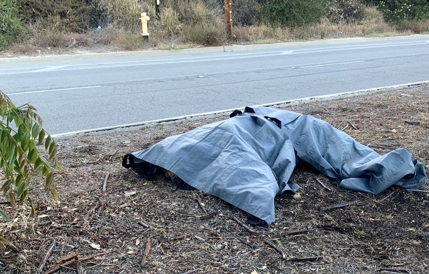 A tarp covers a bear that was killed crossing a street in Pasadena on June 23, 2021. (City of Pasadena)