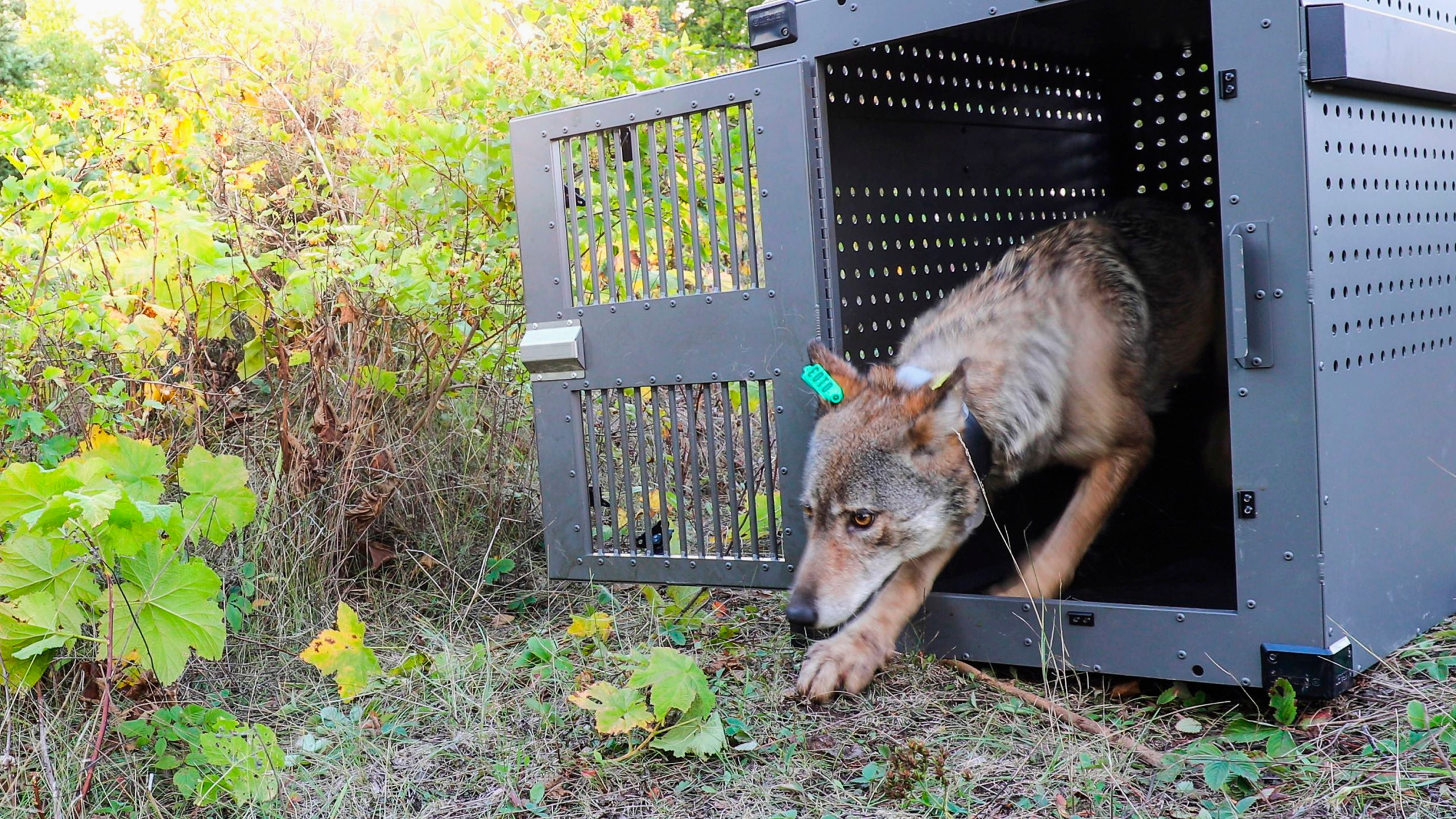 A 4-year-old female gray wolf emerges from her cage as it is released at Isle Royale National Park in Michigan on Sept. 26, 2018, in this photo provided by the National Park Service.