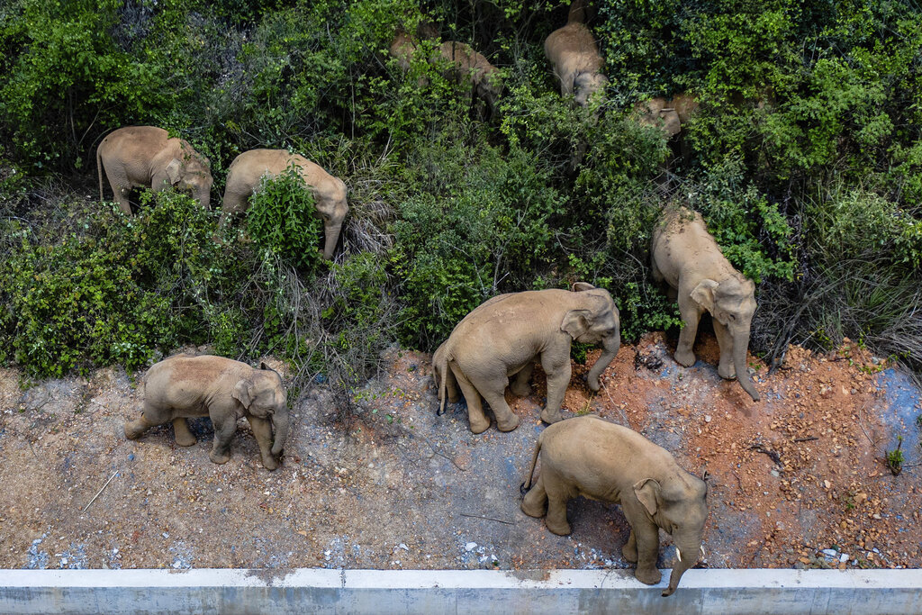 In this aerial photo released by China's Xinhua News Agency, a herd of wild Asian elephants stands in E'shan county in southwestern China's Yunnan Province, Friday, May 28, 2021. (Hu Chao/Xinhua via AP)