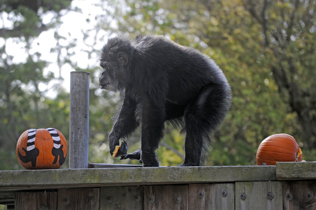 In this Oct. 21, 2009, file photo, Cobby, a male chimpanzee, plays with pumpkins during the San Francisco Zoo's 'Boo at the Zoo' Halloween celebration in San Francisco. (AP Photo/Russel A. Daniels, File)