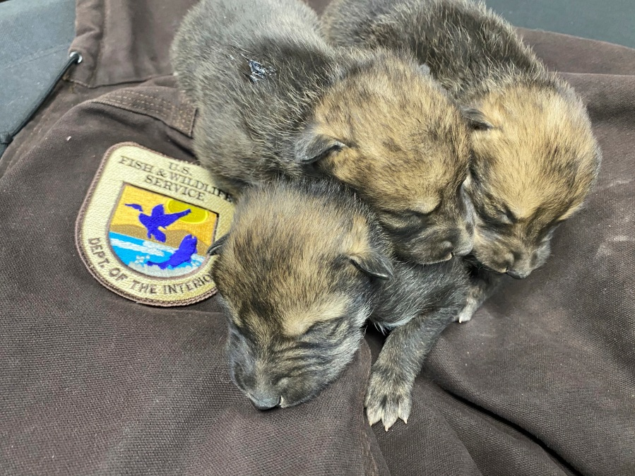 This undated image provided by the U.S. Fish and Wildlife Service's Mexican Wolf Interagency Field Team shows a litter of pups before being placed into a den in the wild as part of the agency's cross-fostering program in southwestern New Mexico. (U.S. Fish and Wildlife Service via AP)
