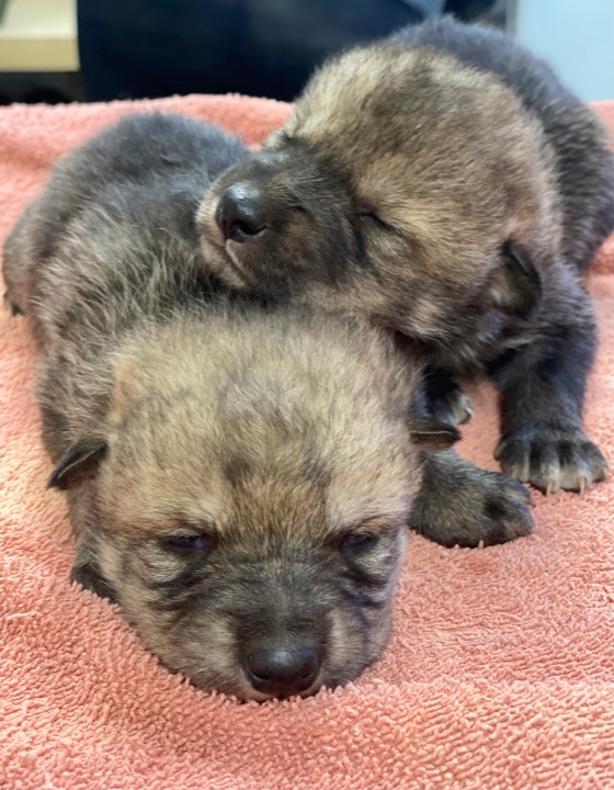 This undated image provided by the U.S. Fish and Wildlife Service's Mexican Wolf Interagency Field Team shows a litter of captive-bred pups before being placed into a den in southwestern New Mexico as part of a cross-fostering program. (U.S. Fish and Wildlife Service via AP)