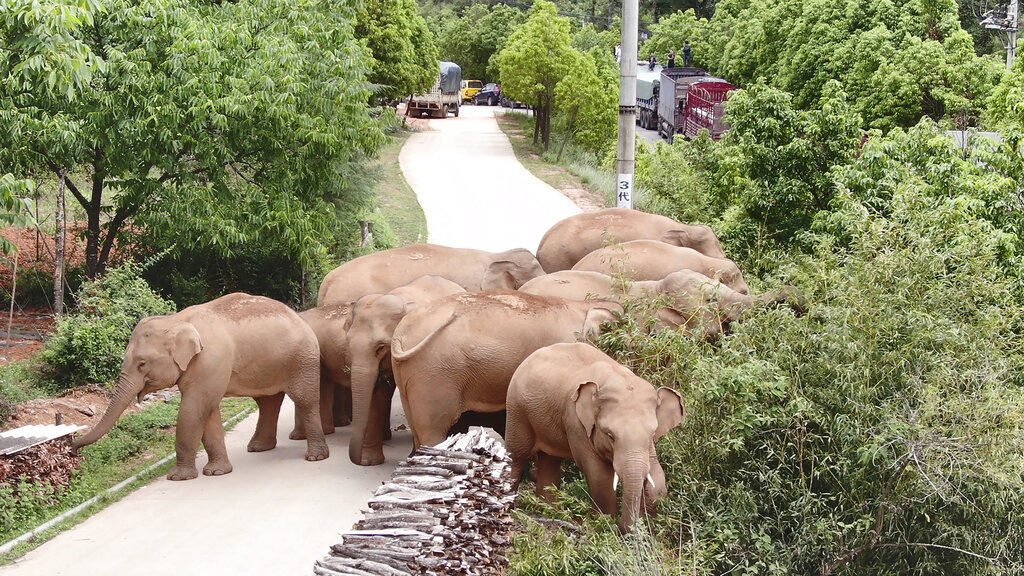 In this photo taken June 4, 2021, and released by the Yunnan Forest Fire Brigade, a migrating herd of elephants graze near Shuanghe Township, Jinning District of Kunming city in southwestern China's Yunnan Province. (Yunnan Forest Fire Brigade via AP)