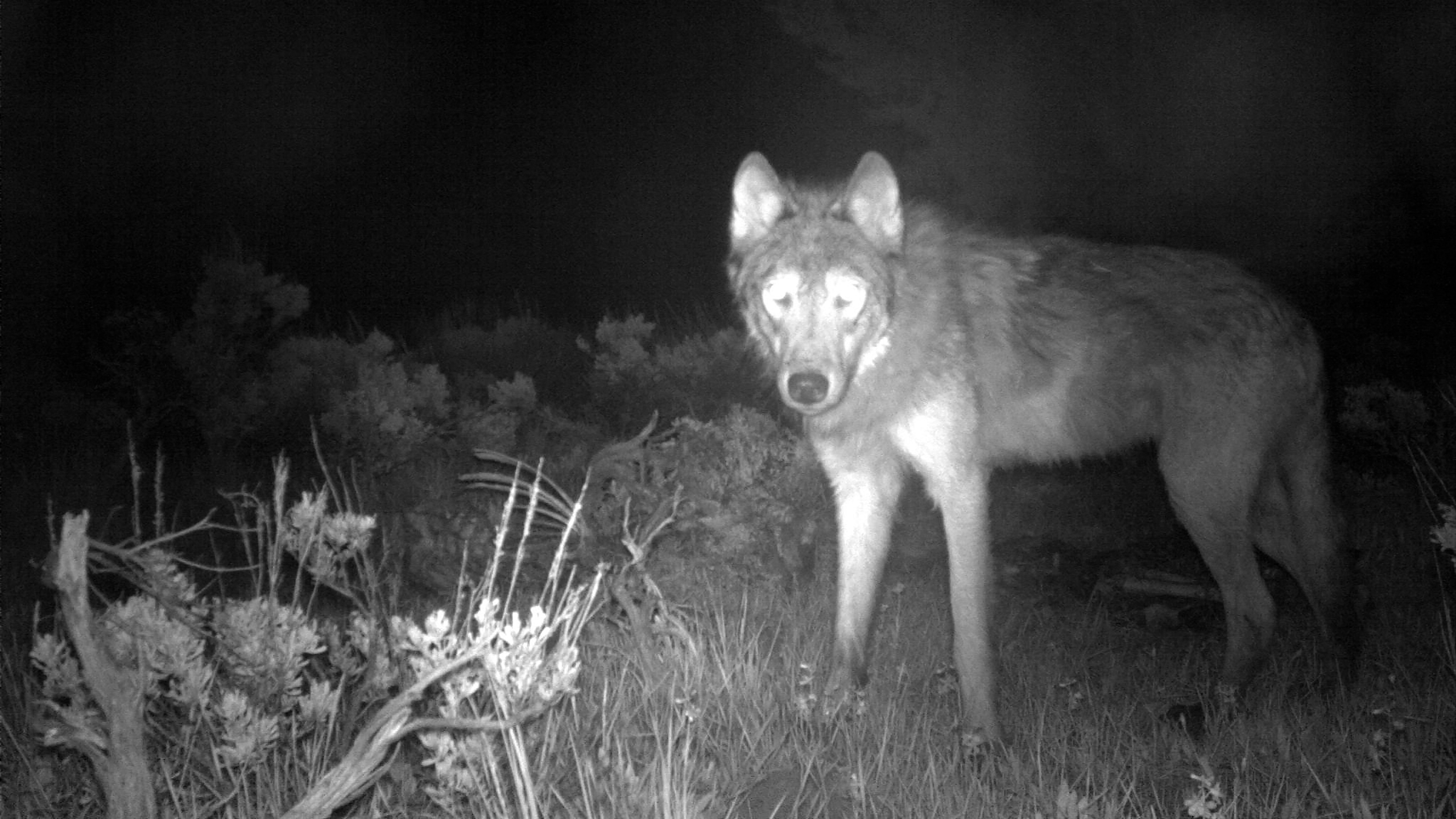 This June 3, 2020, file image released by Colorado Parks and Wildlife shows a wolf on a state game camera in Moffat County, Colo. Colorado wildlife officials say the first gray wolf pups since the 1940s have been spotted in the state. Gov. Jared Polis' office said in a news release Wednesday, June 9, 2021, that a state biologist and district wildlife manager each spotted the litter of at least three wolf pups over the weekend. (Colorado Parks and Wildlife via AP, File)