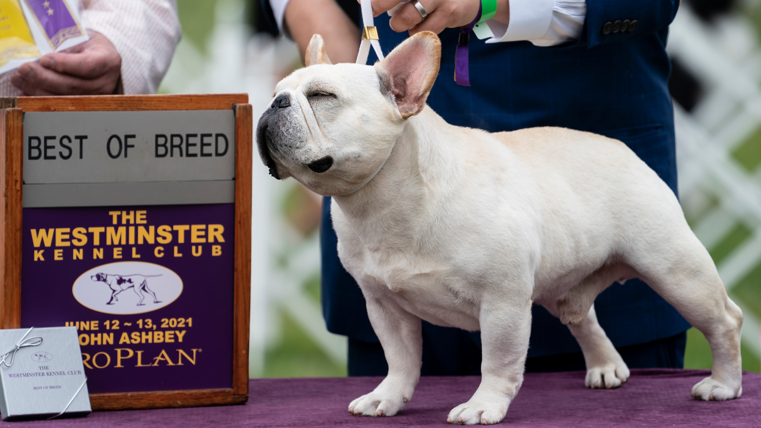 Mathew, a French bulldog, wins the top prize in his breed group at the 145th Annual Westminster Kennel Club Dog Show, Saturday, June 12, 2021, in Tarrytown, N.Y. (AP Photo/John Minchillo)
