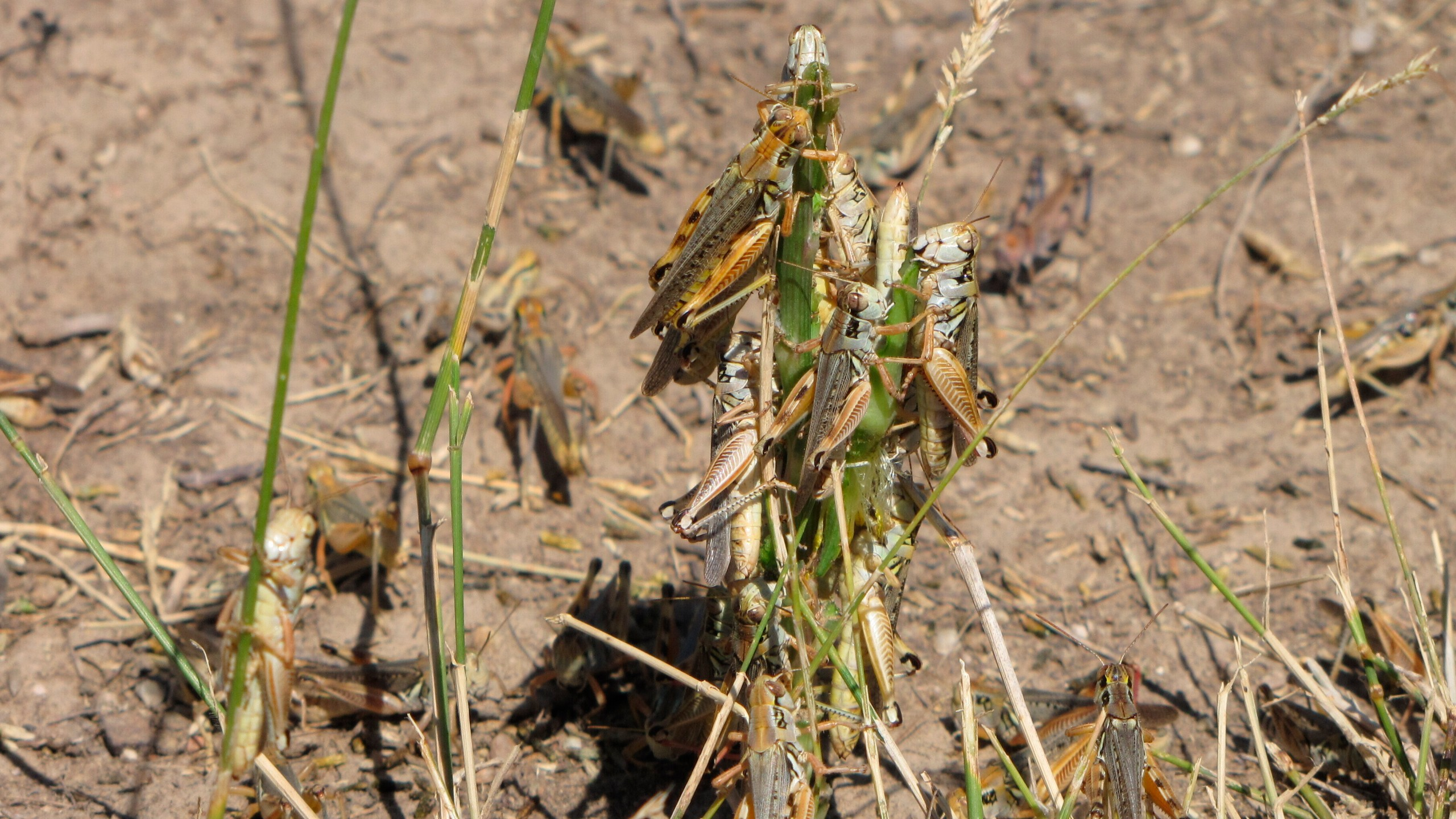In this photo provided by the U.S. Department of Agriculture's Animal and Plant Health Inspection Service, grasshoppers are seen eating a plant in this undated handout photo from the U.S. Department of Agriculture. Federal agriculture officials are launching what could be the largest grasshopper-killing campaign since the 1980s amid an outbreak of the drought-loving insects that cattle ranchers fear will strip bare public and private rangelands. (U.S. Department of Agriculture's Animal and Plant Health Inspection Service via AP)