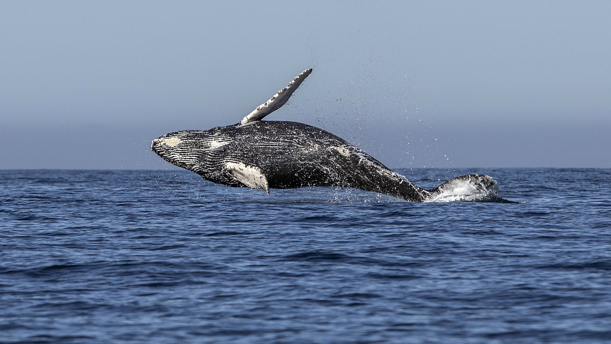 A humpback whale jumps out of the Pacific Ocean's waters in Los Cabos, Baja California Sur, Mexico on March 14, 2018. (FERNANDO CASTILLO/AFP via Getty Images)