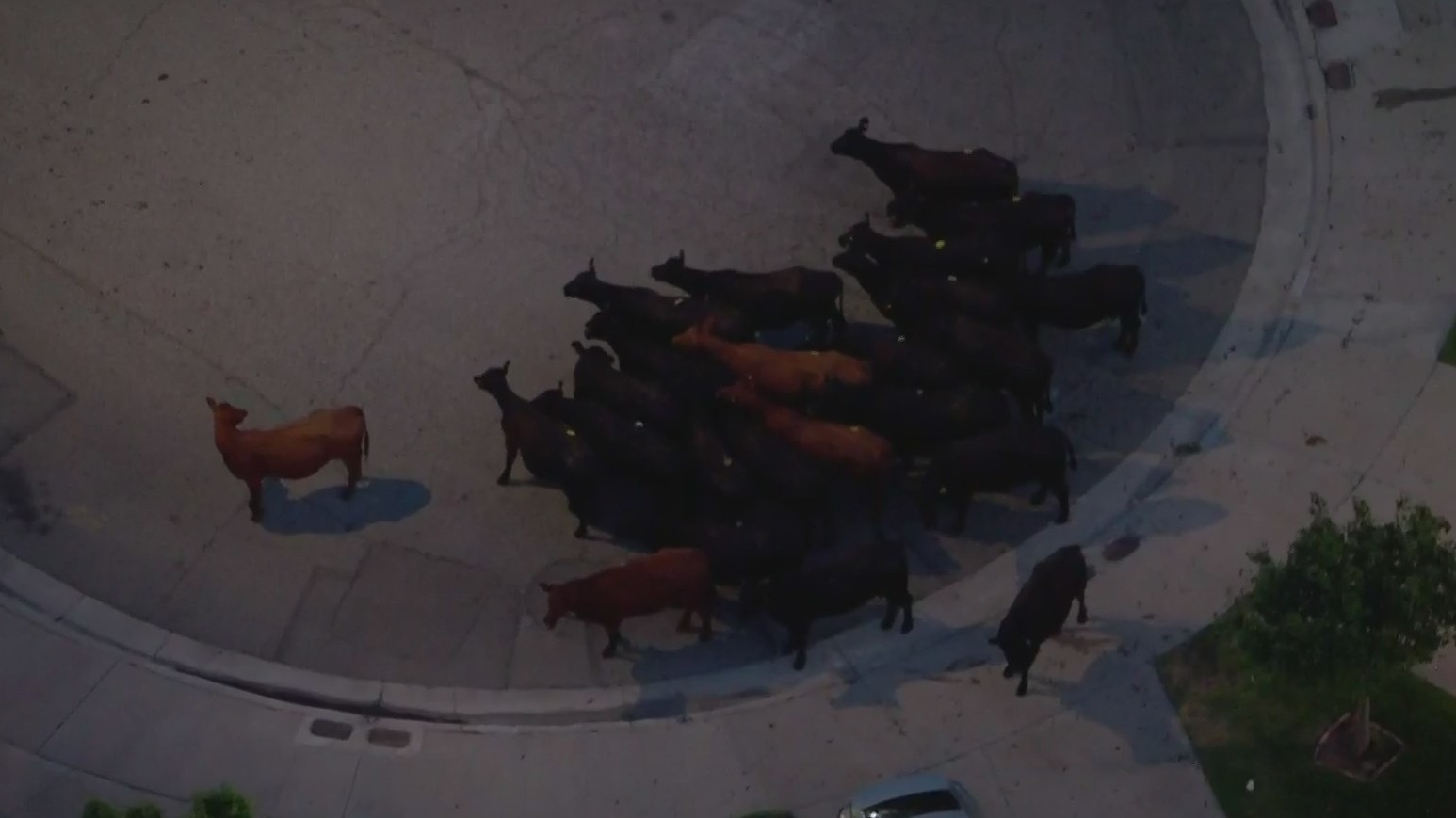 Escaped cows stand in a Pico Rivera neighborhood on June 22, 2021. (KTLA)
