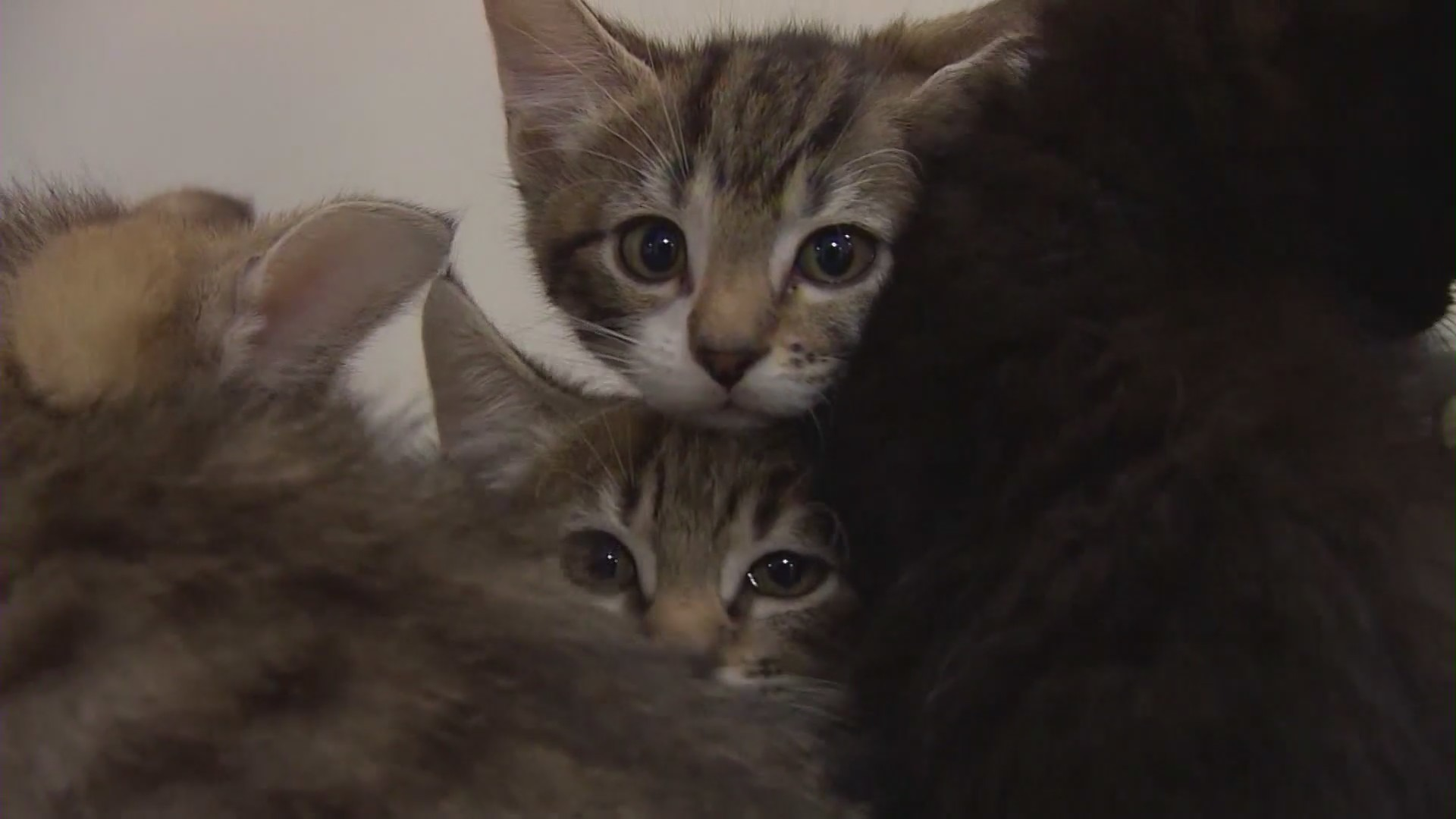 The Johnson Foundation in Tujunga is adopting out cats for Fathers Day on June 20, 2021.