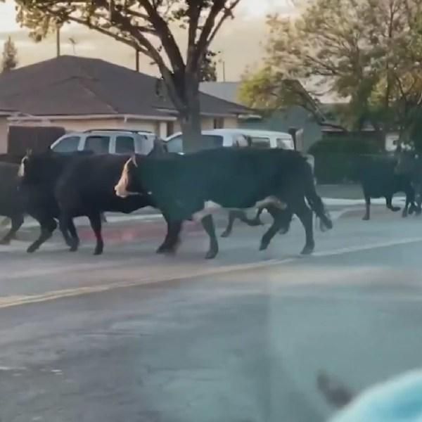 Cows wander through Pico Rivera June 22, 2021. (Daisy Laureano)