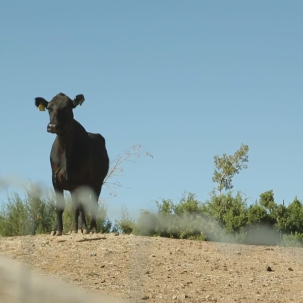 A lone cow that escaped a Pico Rivera slaughterhouse with a herd of 40 arrived at Farm Sanctuary where she will get another chance at life. (Photo courtesy of: Farm Sanctuary)