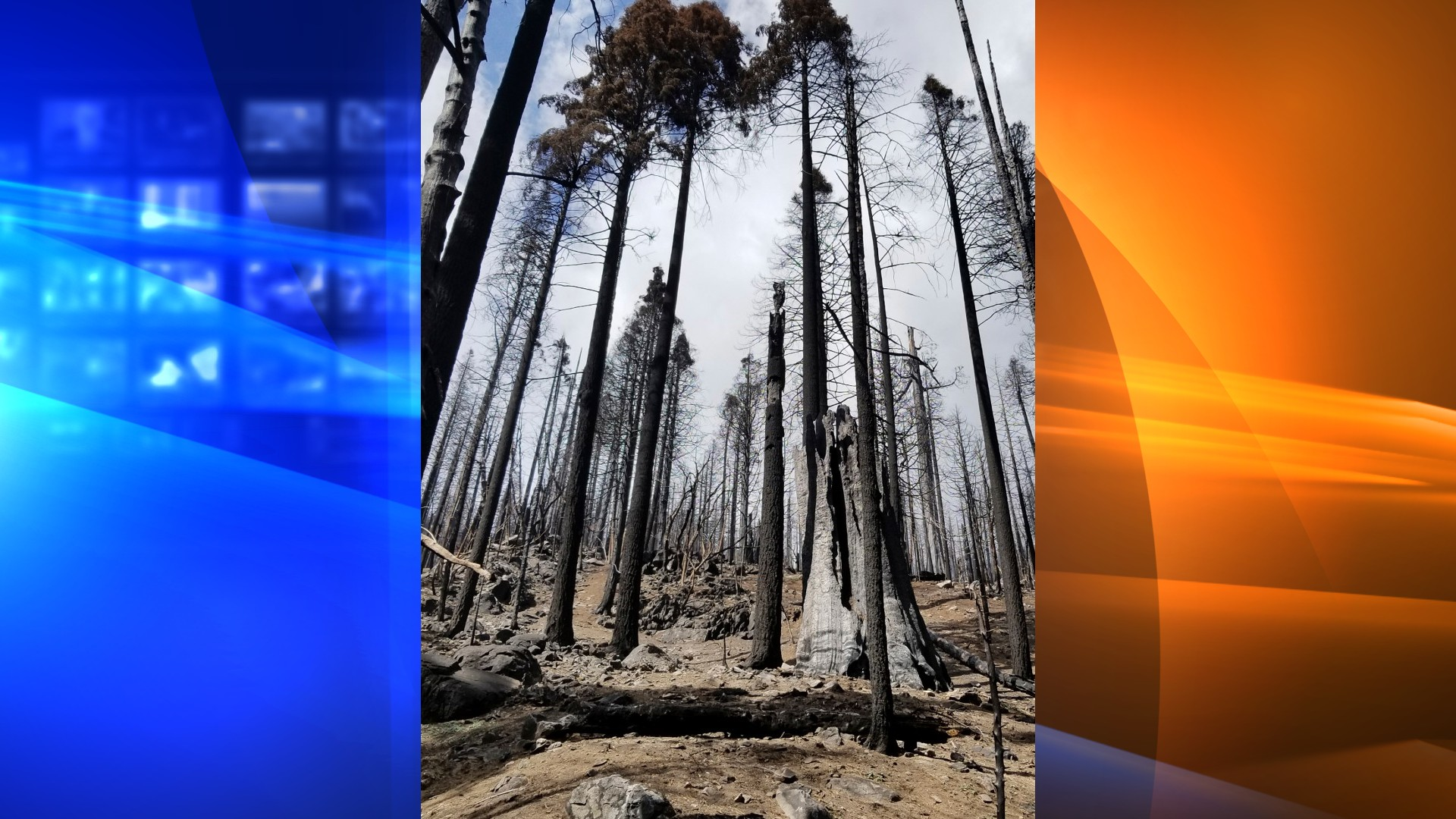 In this April 22, 2021, photo provided by Sequoia & Kings Canyon National Parks, is a stand of burned sequoias in the Board Camp Grove in Sequoia National Park, Calif., following the 2020 Castle Fire. At least a tenth of the world's mature giant sequoias were destroyed by a single California wildfire that tore through the southern Sierra Nevada last year, according to a draft report prepared by scientists with the National Park Service. The Visalia Times-Delta newspaper obtained a copy of the report that describes catastrophic destruction from the Castle Fire, which charred 273 square miles of timber in Sequoia National Park. (Tony Caprio/Sequoia & Kings Canyon National Parks via AP)