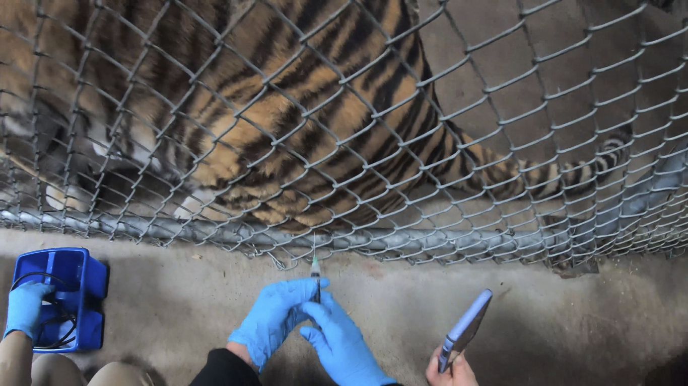 In this Thursday, July 1, 2021, image released by the Oakland Zoo, a tiger receives a COVID-19 vaccine at the Oakland Zoo in Oakland, Calif. Tigers are trained to voluntarily present themselves for minor medical procedures, including COVID-19 vaccinations. The Oakland Zoo zoo is vaccinating its large cats, bears and ferrets against the coronavirus using an experimental vaccine being donated to zoos, sanctuaries and conservatories across the country. (Oakland Zoo via AP)