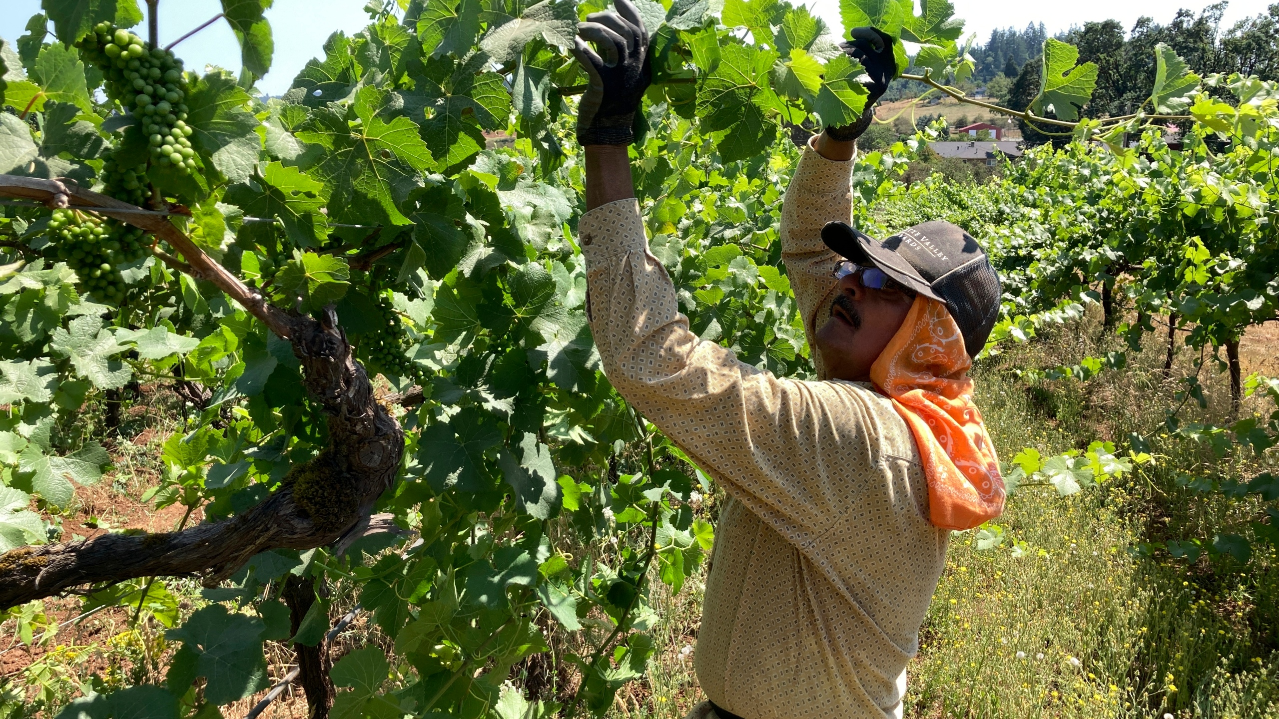 Miguel Ramos, of Salem, Oregon, reaches up to pull the leaf canopy over pinot noir grapes on Thursday, July 8, 2021, to shade the fruit from the sun, at Willamette Valley Vineyards in Turner, Ore. (AP Photo/Andrew Selsky)